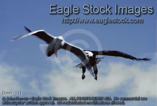 bepr-01^ - Bald eagle in-flight with sea gull