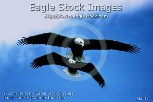 be2f1^ - 2 Bald Eagles in Formation