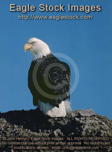 bebst9 - Bald Eagle Staring At Camera