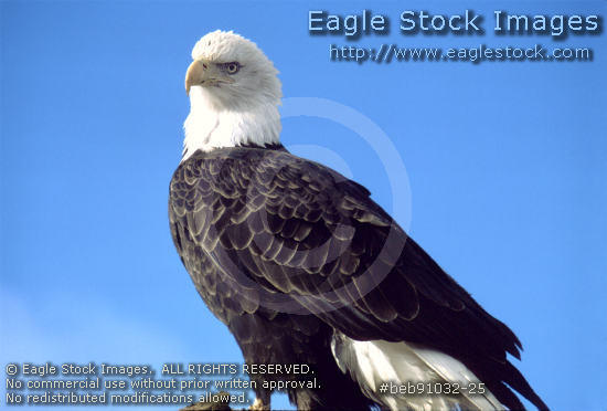 beb91032-25 - Proud Bald Eagle Perched High On A Cliff