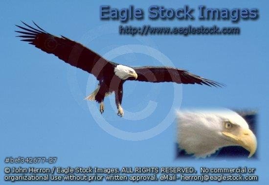 bef342677-27 - Bald Eagle In-Flight