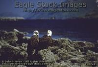 be2x1^ - 2 Bald Eagles with Blue Ocean Background