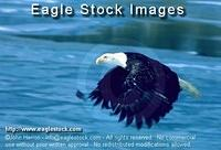 befly4^ - Bald Eagle Flying Over Frozen Lake