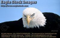 behd2^ - Bald Eagle picture