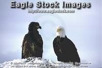 bewb2^ - Mature and Immature Eagles