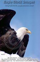 beful2^ - Bald Eagle Bust
