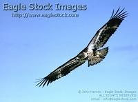 imfl1^ - Immature Eagle In-Flight