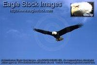 bef15^ - In-flight Bald Eagle
