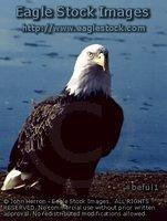 beful1^ - Proud Eagle Looking Directly at Camera