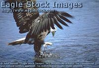 bewng^ - Fishing Eagle With Outstretched Wings