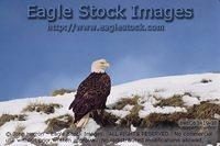beb063419-32^ - Bald Eagle Perched On Snow Covered Bluff