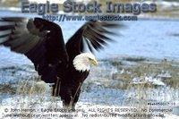 beb858017-10^ - Bald Eagle Wading Through Icy Water