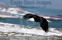 befly17^ - Bald Eagle In-Flight High Over Ocean Bay