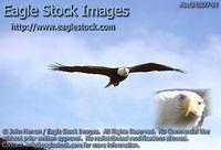 bef342677-34 - Bald Eagle In-Flight