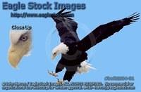bef62634-51 - Bald Eagle With Talons Down
