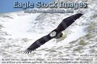 bef63449 - In-Flight Bald Eagle With Snowy Mountain Backround