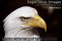 behd343828-19 - Bald Eagle Head