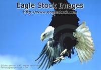 becl1 - Bald Eagle Photo