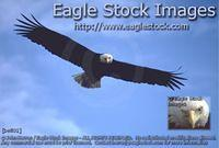 befly1 - Eagle Photo In-flight