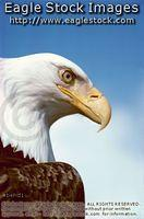 behd1 - Bald Eagle photo