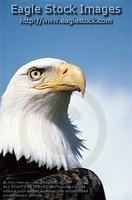 behd9 - Bald Eagle Passport Photo
