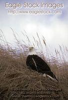 bepch1^ - Bald Eagle Perched On Dry Grass