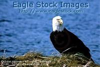 bepch2 - Bald Eagle Perched