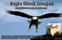 betl02 - Bald Eagle Photo