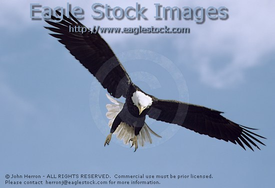 bald_eagle_inflight_becl4%5E.jpg