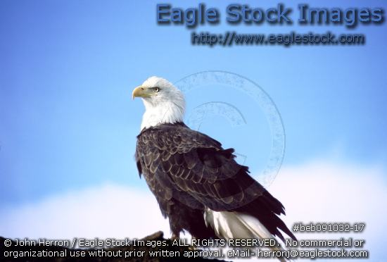 Beautiful bald eagle picture with sky and cloud background [beb091032-17] - bust of free wild eagle.