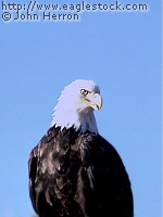 Bald Eagle picture  [#BEBST1]