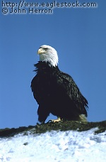 Bald Eagle patriotic symbol of America [#BEBST3]