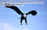 Bald Eagle talons down flying [#BECLW3]