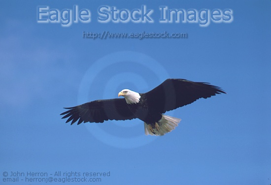 Bald Eagle in-flight [BEF03], crystal clear picture of bald eagle soaring high.  Picture of Eagle flying high over Alaska.