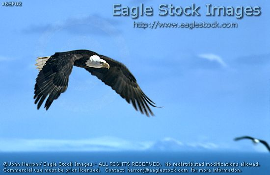 Soaring Bald Eagle Photo - bald eagle in-flight with beautiful mountain and sky background