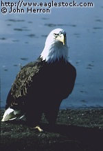 bald eagle beautiful scenic background