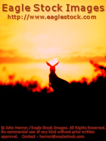 "Picture of Kangaroo with Australia Sunset  #kang01-027 - Dramatic kangaroo picture.  Order your 11x14"" print of this beautiful image today."