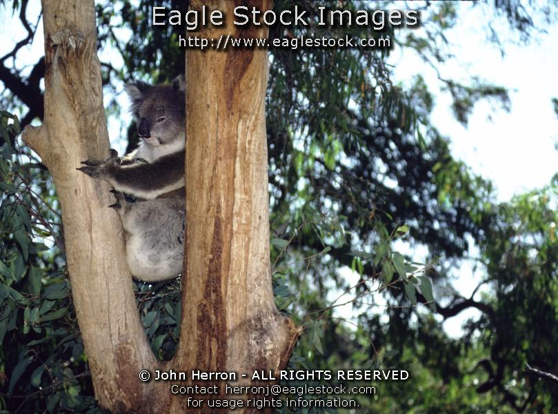 Australia Koala Bear Pictures #koala1699286-11 - Koalas are so cute.   You can have this wonderful picture hanging on a wall in your home.