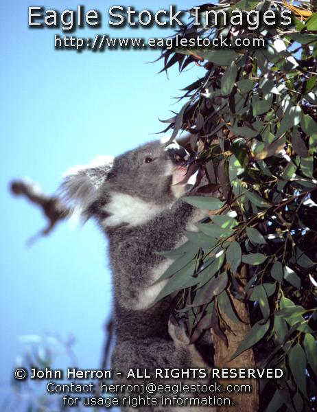 Australia Koala Bear Photos #koala2237074-15 - Koalas are so adorable.   You can have this wonderful picture hanging on a wall in your home.