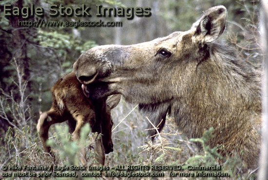moose photo, mother moose with baby calf image, photography, moose photos, wildlife stock photos, graphics, images, moose stock photos, moose clip-art, image, nature photo, MOOSE PHOTO