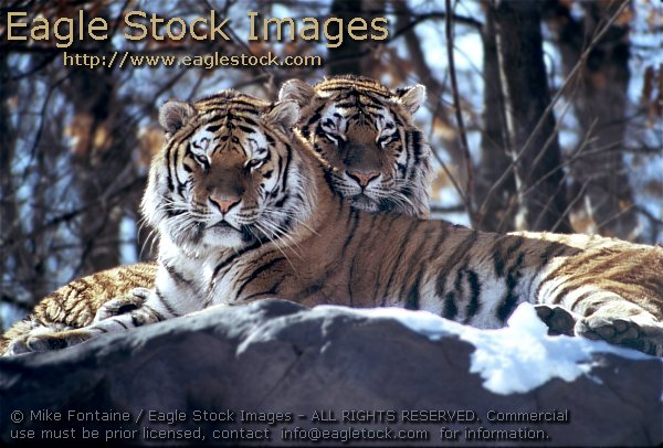 tiger photo, tiger photography, tiger images, wildlife stock photos, tiger photos, tiger graphics, endangered species, tiger prints, tigers, zoo